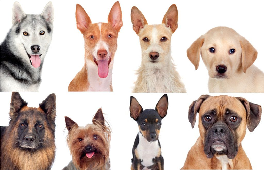 Allergies in dog breeds