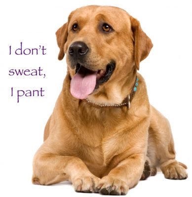 Heat Exhaustion and Heat Stroke in Pets dogs pant  to cool down