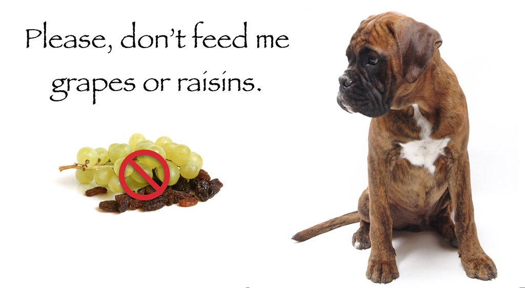 Pet Health Warning grapes and raisins toxic to dogs