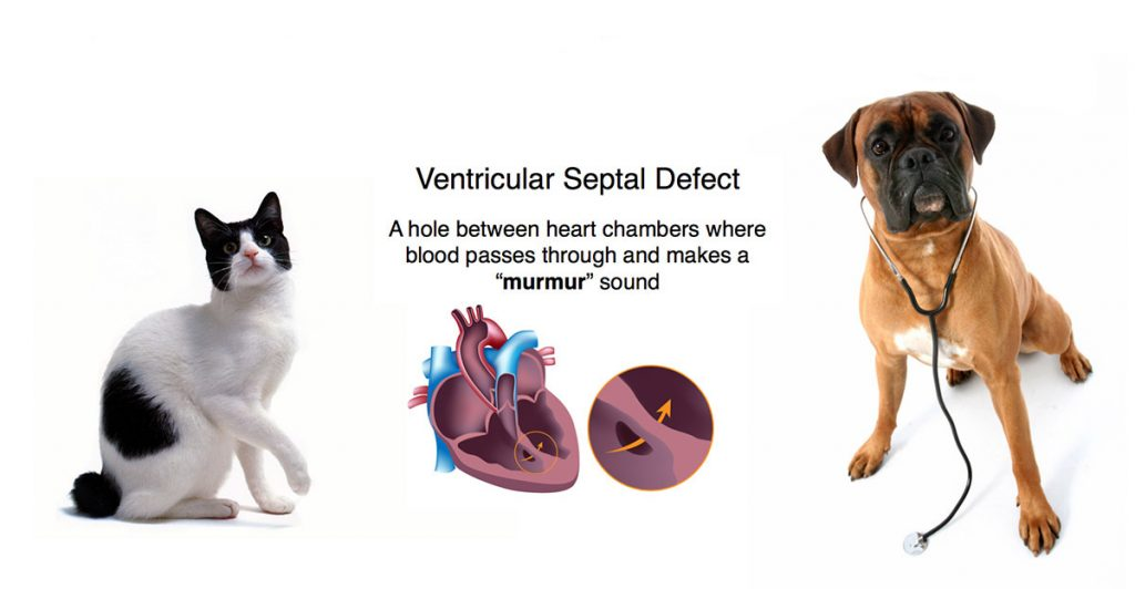Heart Murmur in Dogs and Cats