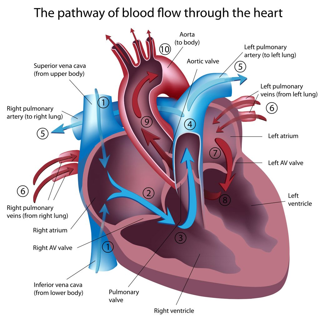 heart murmur in dogs and cats anatomy